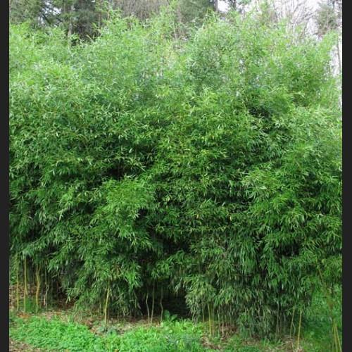 Phyllostachys aureosulcata 'yellow grove'