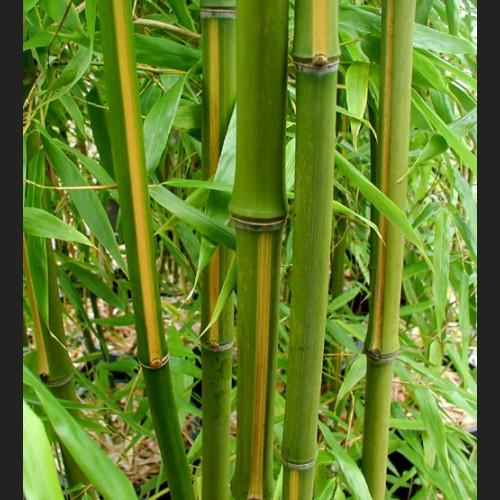 Phyllostachys bambusoides 'Castillon Inversa'