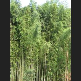 Phyllostachys bambusoides 'Madake'