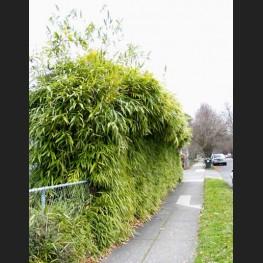 Pseudosasa japonica 'Arrow Bamboo'